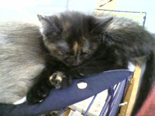3 chatons (Kiyo, Leïla et Malo) Photo-51