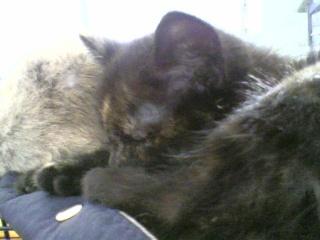 3 chatons (Kiyo, Leïla et Malo) Photo-52