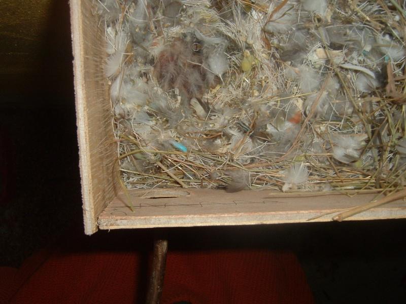 semi liberté pour mes oiseaux Dscf0022