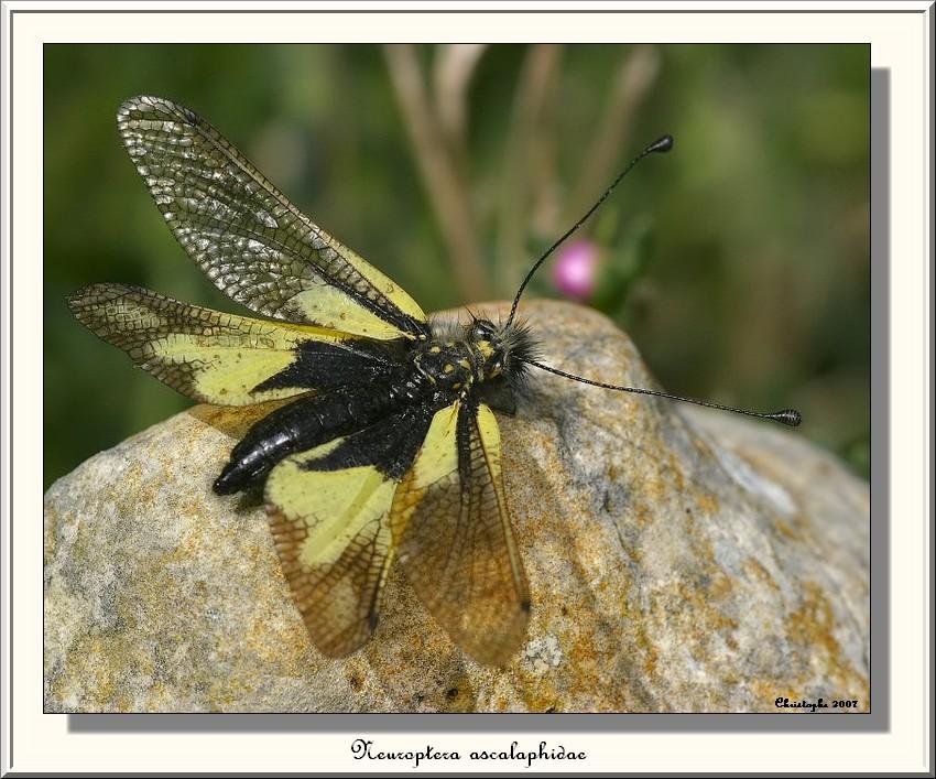 neuroptera ascalaphidae Img_3610