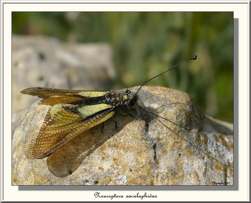 neuroptera ascalaphidae Img_3611