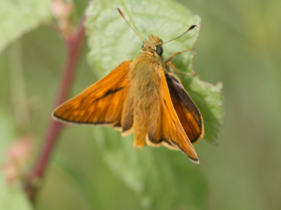 Papillon La_syl10