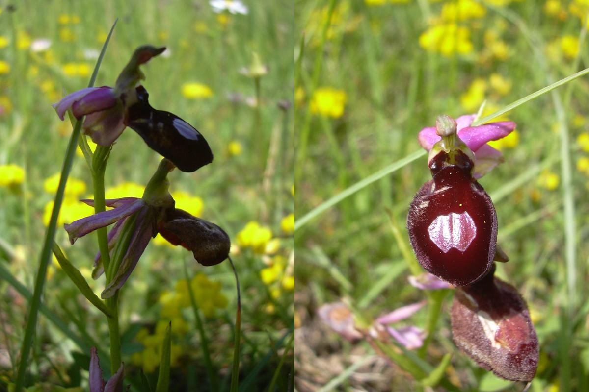Ophrys magniflora Oprhys11