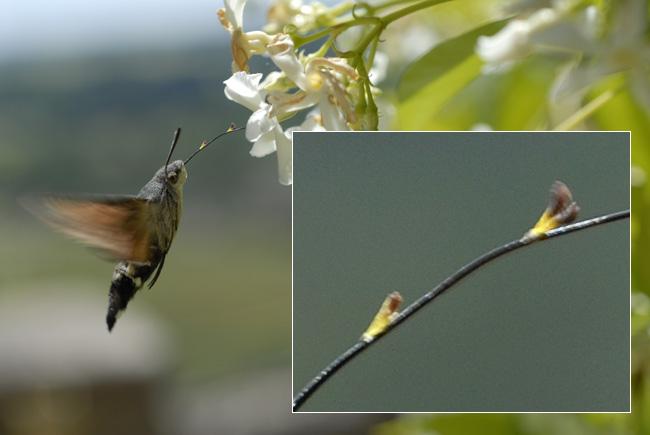 Moro sphinx (Macroglossum stellatarum) et autre papillon Moro410