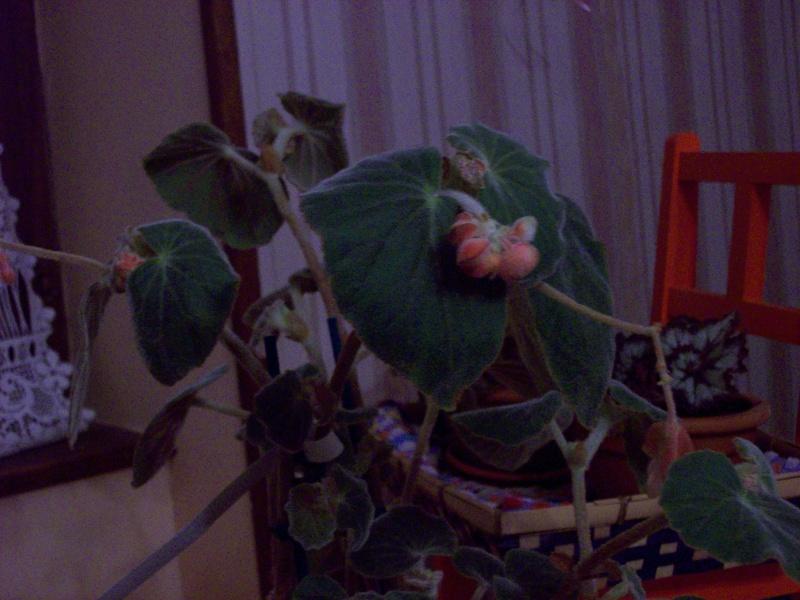 Begonia tomentosa? 100_0910