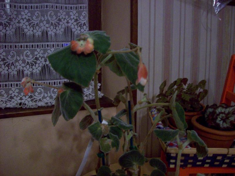 Begonia tomentosa? B_tome10