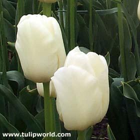 tulipe11.jpg