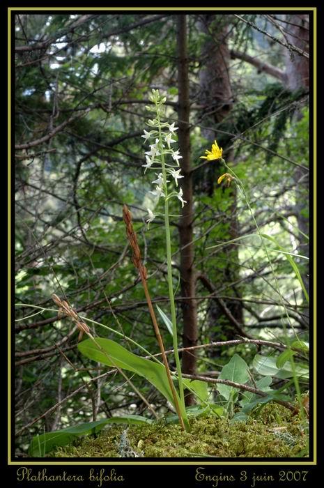 Platanthera bifolia ( Platanthère à deux feuilles ) Engins39