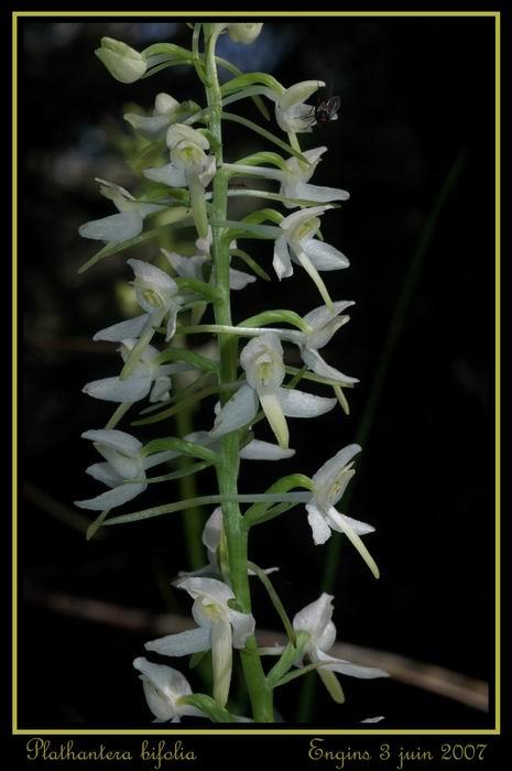 Platanthera bifolia ( Platanthère à deux feuilles ) Engins40