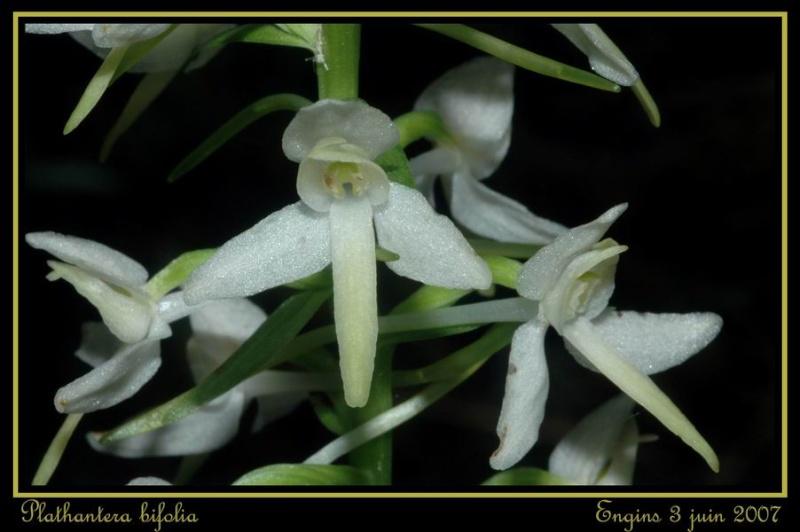 Platanthera bifolia ( Platanthère à deux feuilles ) Engins41