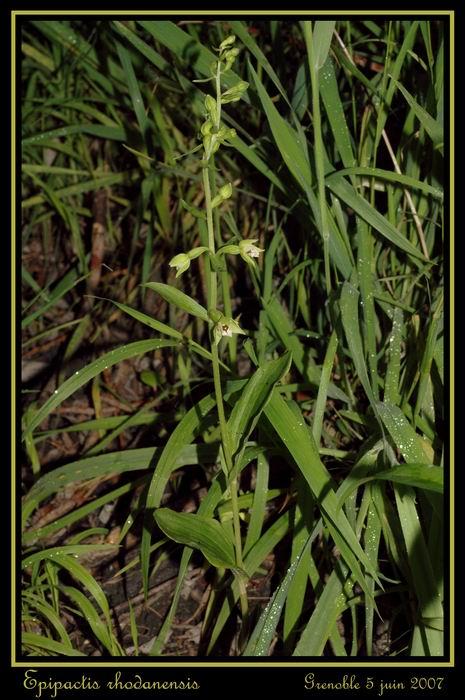 Epipactis rhodanensis ( Epipactis du Rhône ) Gre_0011