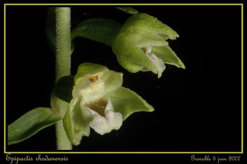 Epipactis rhodanensis ( Epipactis du Rhône ) Gre_0013