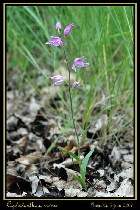 Cephalanthera rubra  (Céphalanthère rouge) Gre_0113