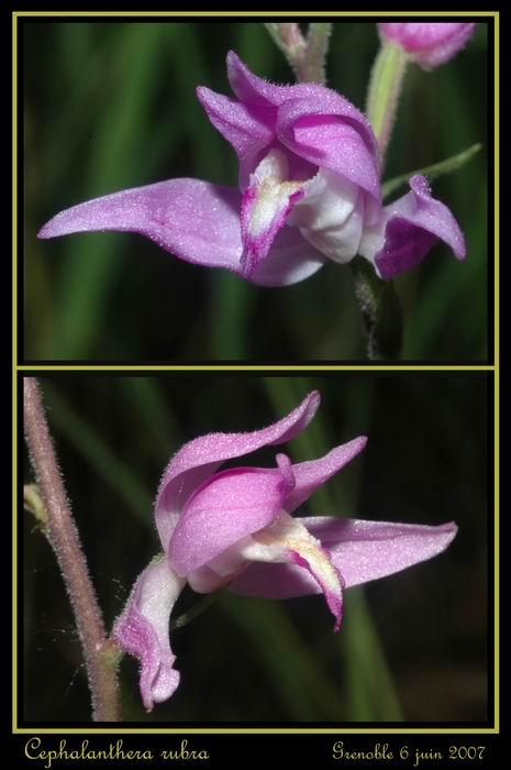 Cephalanthera rubra  (Céphalanthère rouge) Gre_0114