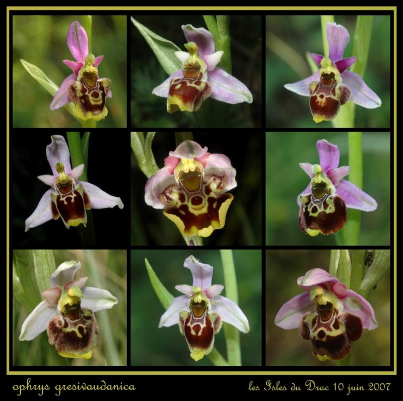 ophrys gresivaudanica Rdrac_10