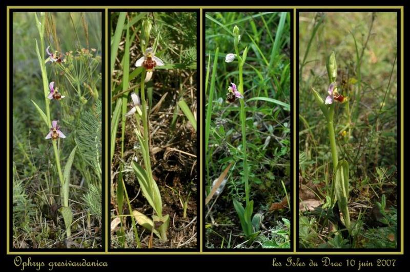 ophrys gresivaudanica Rdrac_11