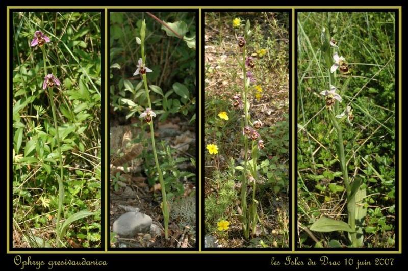 ophrys gresivaudanica Rdrac_12