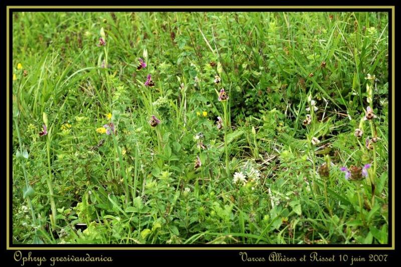ophrys gresivaudanica Rdsc_413