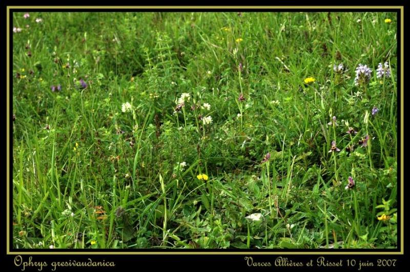 ophrys gresivaudanica Rdsc_414