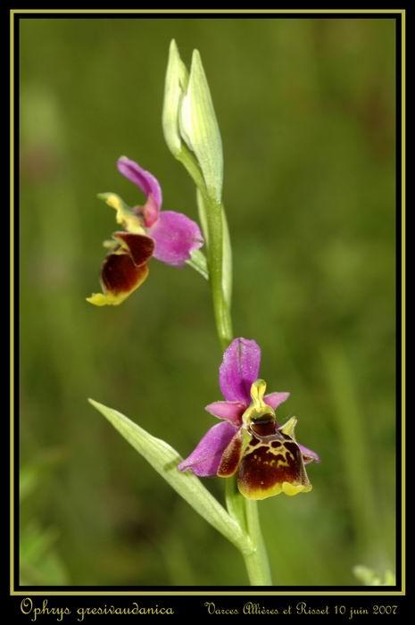 ophrys gresivaudanica Rdsc_416