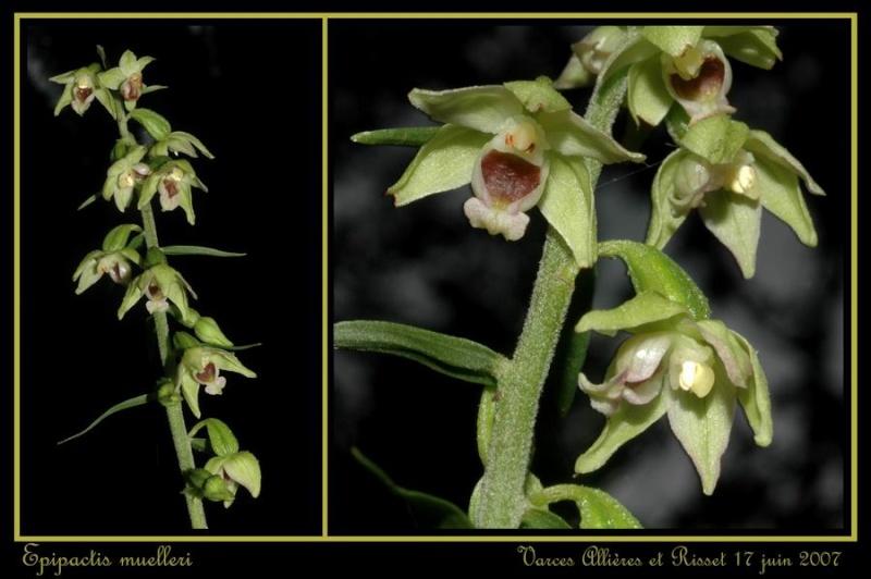 Epipactis muelleri ( Epipactis de Müller ) Rmuell11