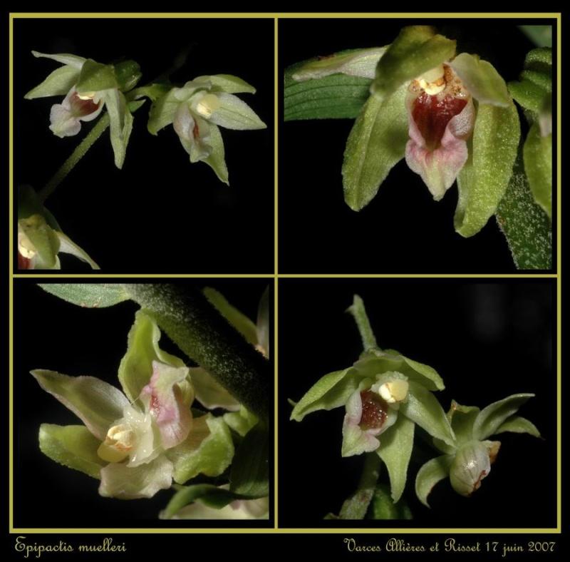 Epipactis muelleri ( Epipactis de Müller ) Rmuell12
