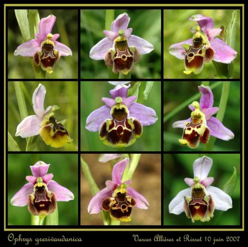 ophrys gresivaudanica Rrisse10