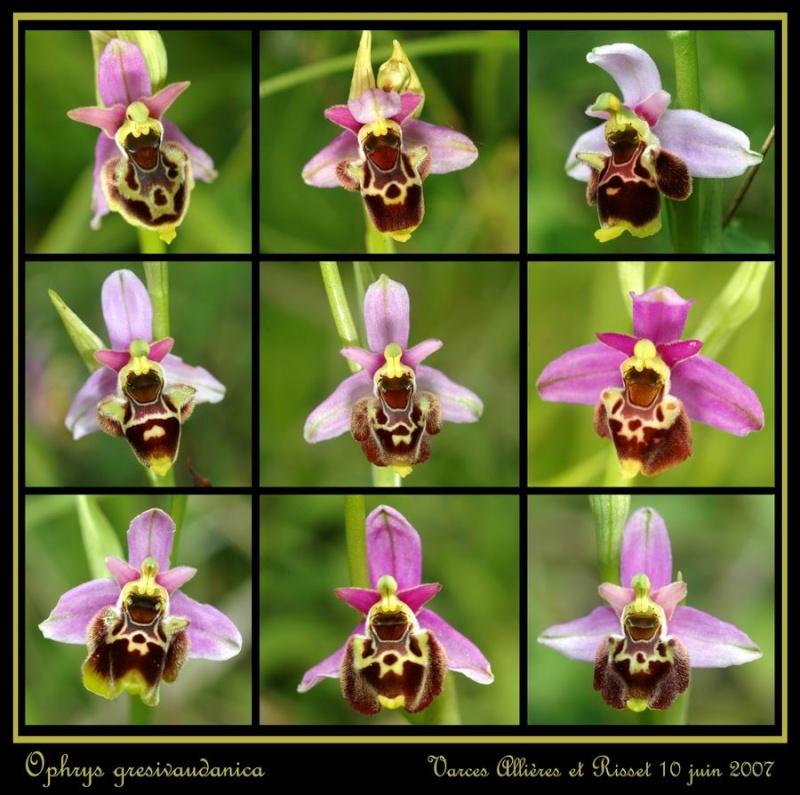 ophrys gresivaudanica Rrisse11