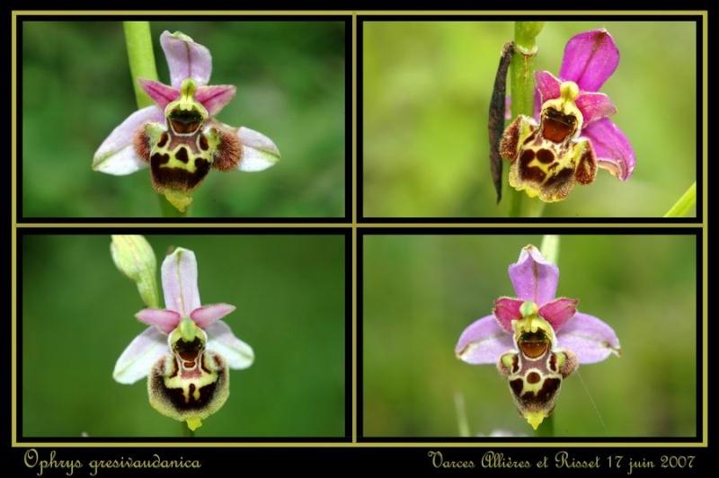 ophrys gresivaudanica Rrisse12