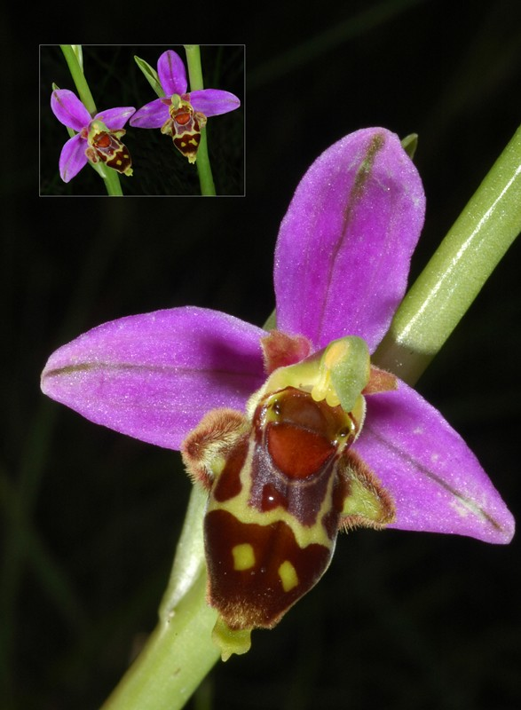 Ophrys scolopax ( Ophrys bécasse ) Mp210