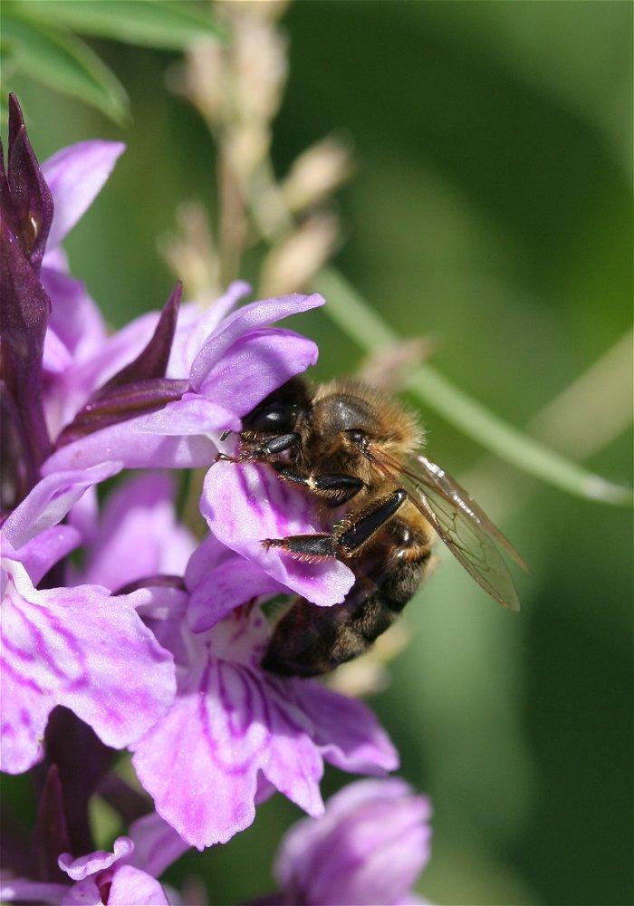 abeille inconnue sur Dactilorhyza inconnue Abeill10