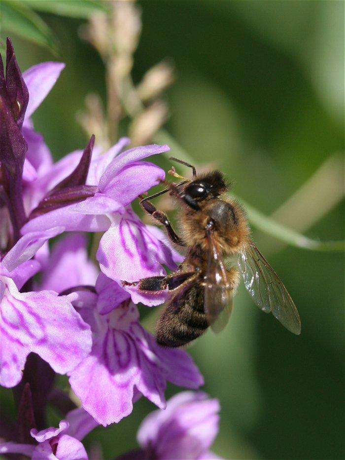 abeille inconnue sur Dactilorhyza inconnue Abeill11