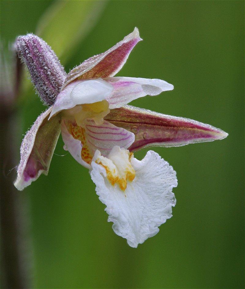 Epipactis palustris ( Epipactis des marais ) Epipac10