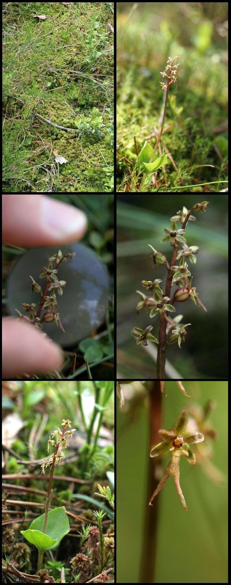 Neottia cordata (Listère cordée) Lister12