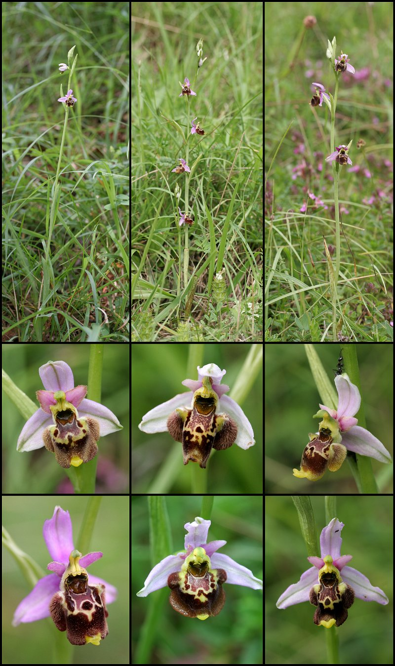 ophrys gresivaudanica Ophrys11
