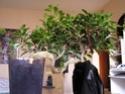 soins pour un nouveau ficus retusa Ficus_10