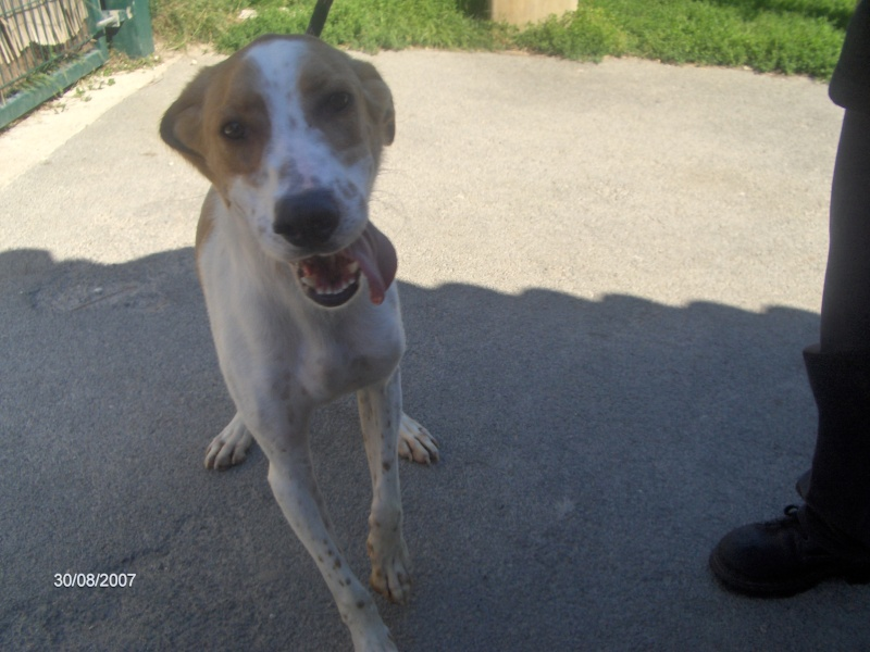 KINDER, type beagle mâle, 3 ans (17) Chien_10