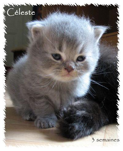 Voilà mes ti longhair color & bleu (silver) tabby Celest11
