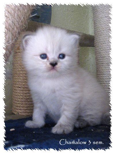 Voilà mes ti longhair color & bleu (silver) tabby Chamal10