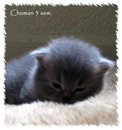 Voilà mes ti longhair color & bleu (silver) tabby Chaman10