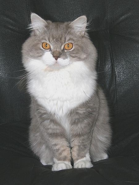 Bleu Silver Tabby Mackerel et Blanc Armani11