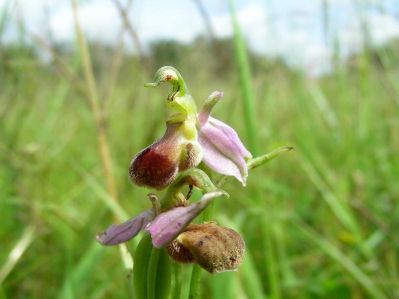 Ophrys apifera bicolore Dscn0113