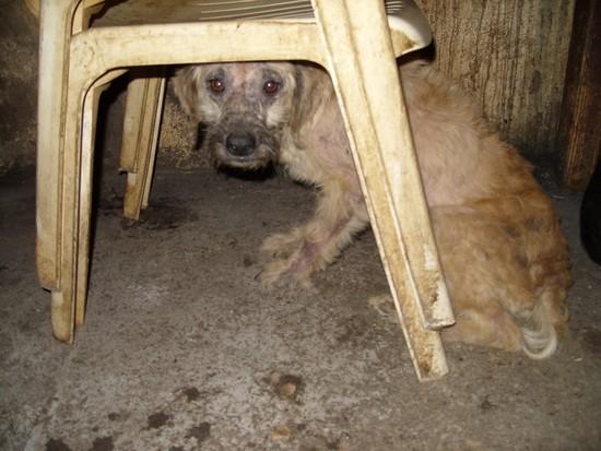 URGENT chiennes qui ont besoins de soins (ASSO. FA) 110