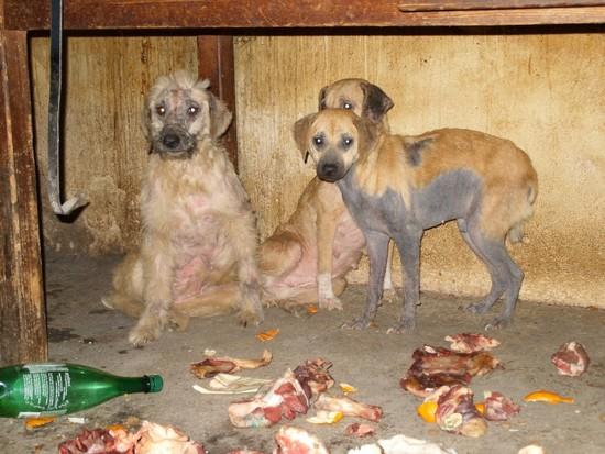 URGENT chiennes qui ont besoins de soins (ASSO. FA) 310