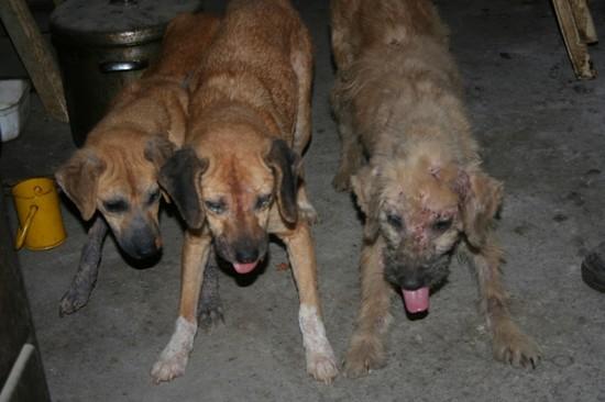 URGENT chiennes qui ont besoins de soins (ASSO. FA) 510