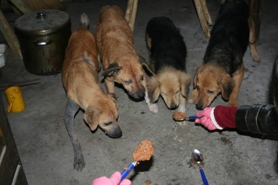 URGENT chiennes qui ont besoins de soins (ASSO. FA) 610