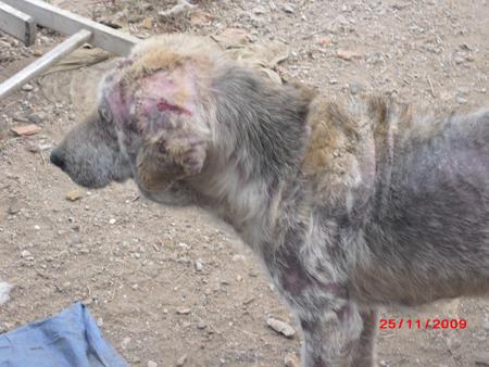 45 chiens à l'abandon dans un sale état à perpignan !!! Chienp11