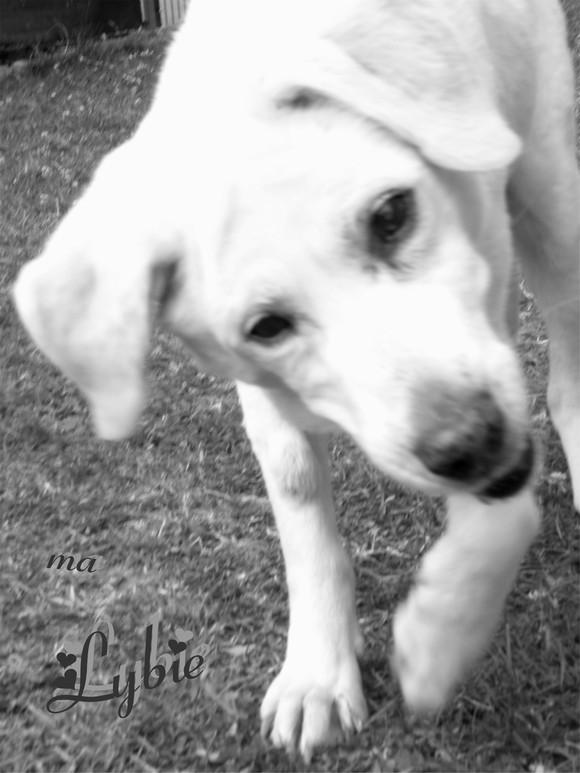 Saisie de 4 chiens par la SPA de Dunkerque, hier... - Page 2 Lybie-10