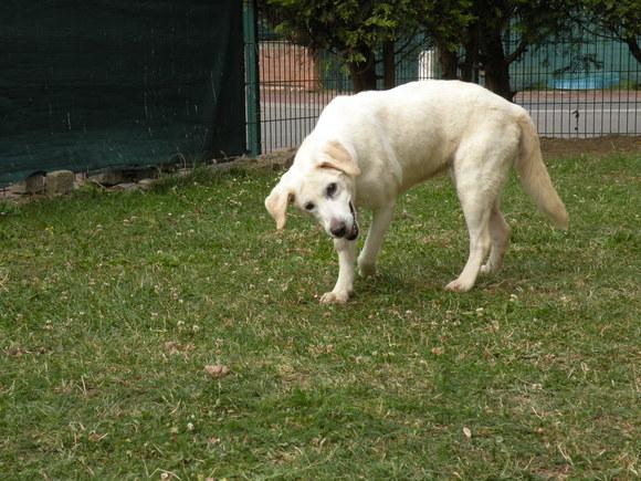Saisie de 4 chiens par la SPA de Dunkerque, hier... - Page 2 Lybie10