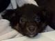 MURPHY (chiot de 7 semaines) - ADOPTE -